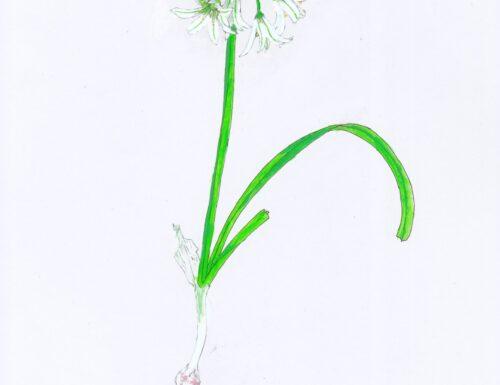 Un erbario delle piante della città di Genova (3)