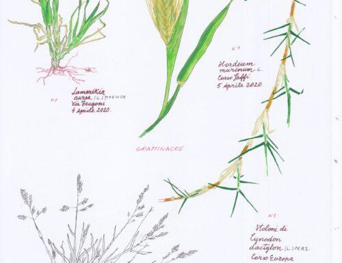 Un erbario delle piante della città di Genova (4)