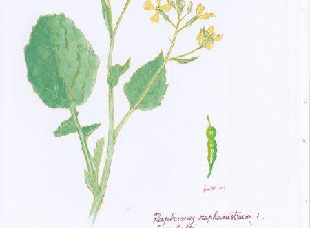 Un erbario delle piante della città di Genova (5)
