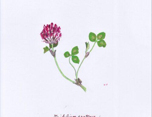 Un erbario delle piante della città di Genova (6)