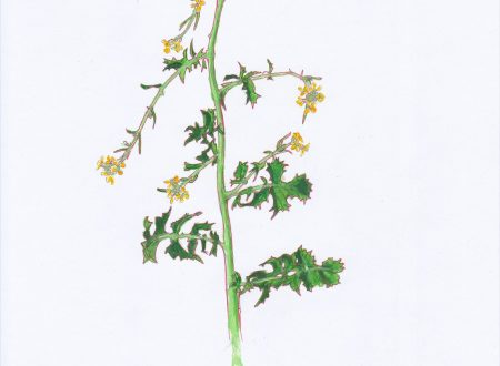 Un erbario delle piante della città di Genova (7)