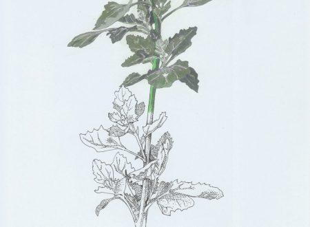 Un erbario delle piante della città di Genova (9)